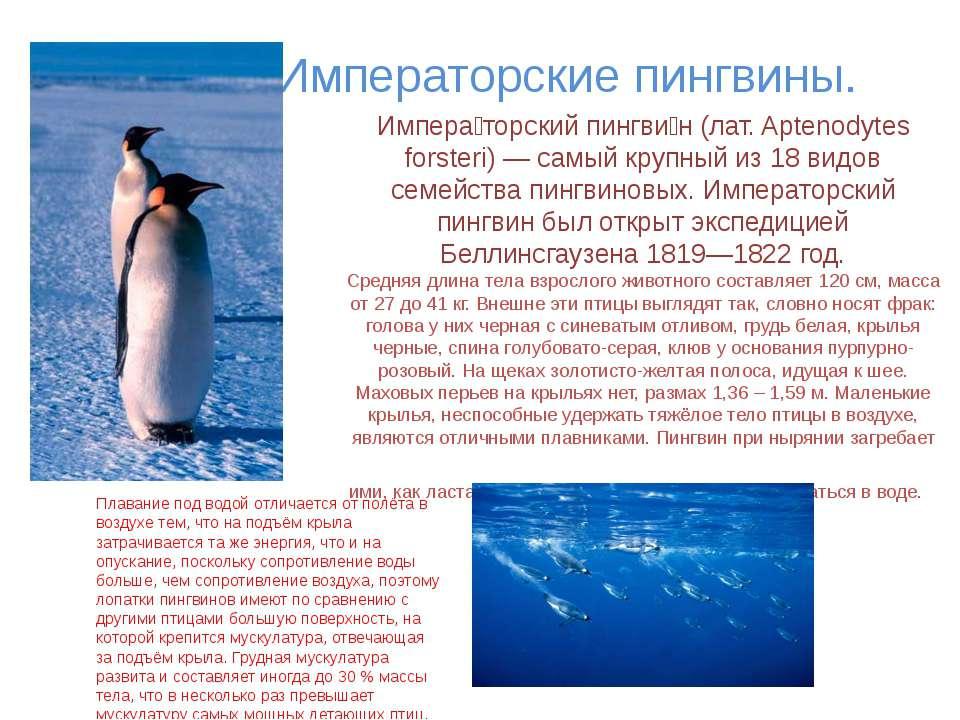 Императорские пингвины. Импера торский пингви н (лат. Aptenodytes forsteri) —...