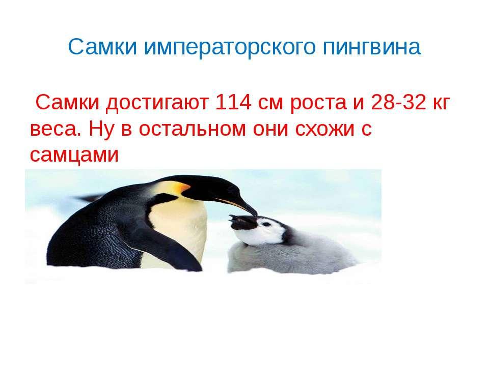 Самки императорского пингвина Самки достигают 114 см роста и 28-32 кг веса.Н...