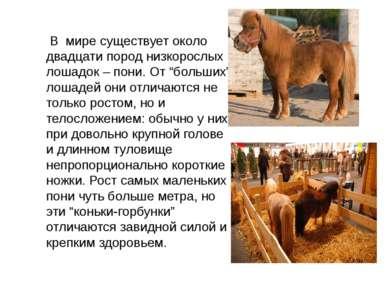 """В мире существует около двадцати пород низкорослых лошадок – пони. От """"больши..."""