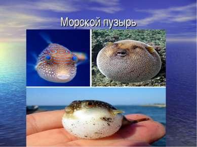 Морской пузырь