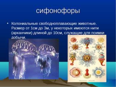 сифонофоры Колониальные свободноплавающие животные. Размер от 1см до 3м, у не...
