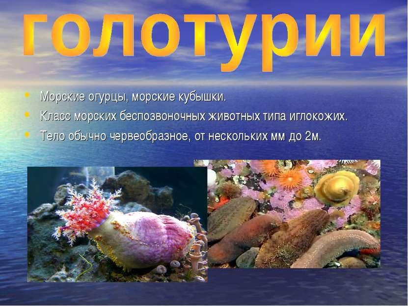 Морские огурцы, морские кубышки. Класс морских беспозвоночных животных типа и...