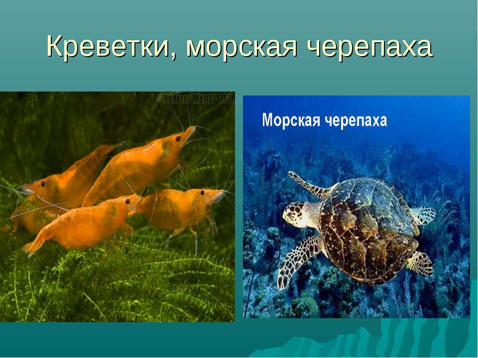 Креветки, морская черепаха