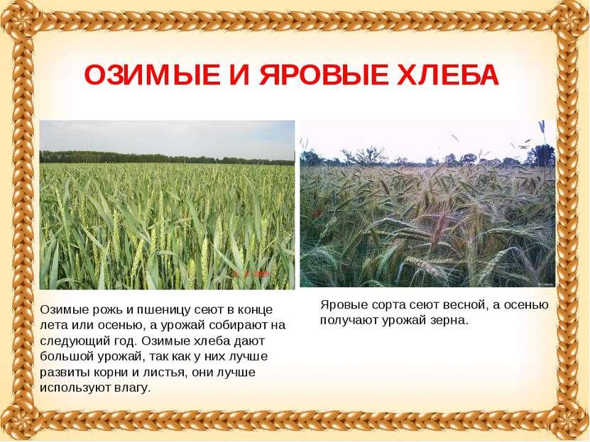 Озимые рожь и пшеницу сеют в конце лета или осенью, а урожай собирают на след...