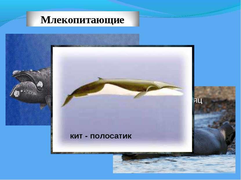 ЯПОНСКИЙ ЮЖНЫЙ КИТ МОРСКОЙ ЗАЯЦ БЕЛАЯ НЕРПА кит - полосатик