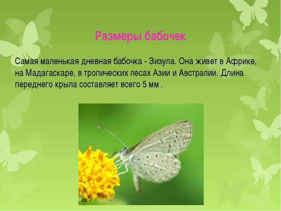 Самая маленькая дневная бабочка - Зизула. Она живет в Африке, на Мадагаскаре,...
