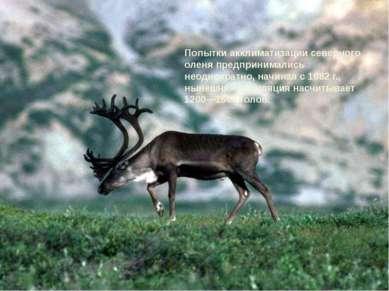 Попытки акклиматизации северного оленя предпринимались неоднократно, начиная ...