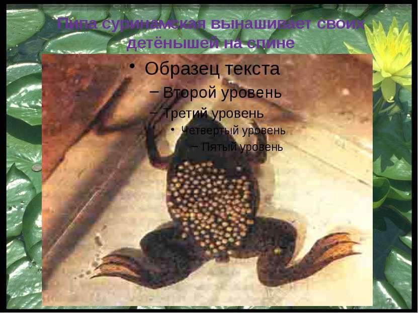 Свистун - крупная южноамериканская лягушка, очень прожорливая …Известны случа...