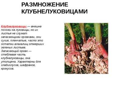 РАЗМНОЖЕНИЕ КЛУБНЕЛУКОВИЦАМИ Клубнелуковицы — внешне похожи на луковицы, но и...
