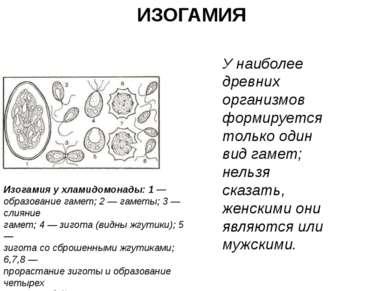 ИЗОГАМИЯ У наиболее древних организмов формируется только один вид гамет; нел...