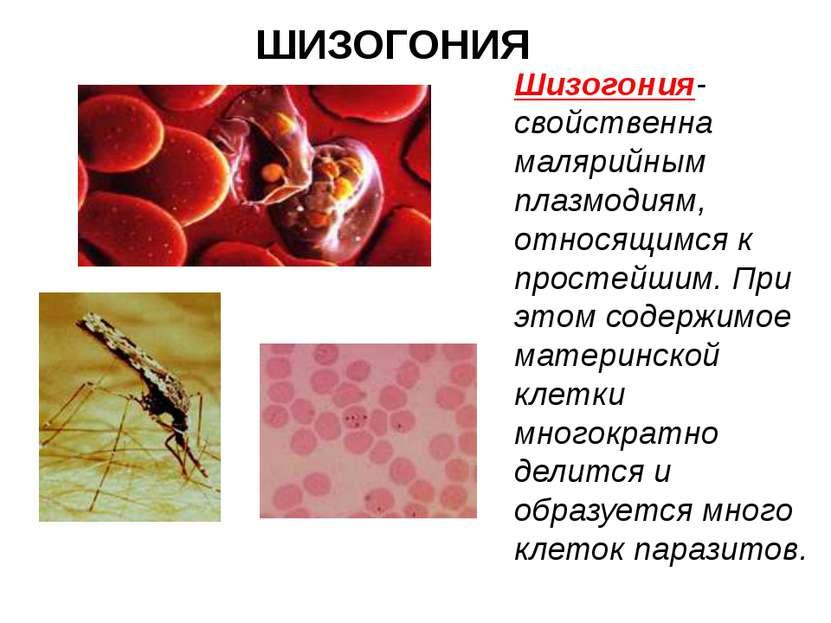 ШИЗОГОНИЯ Шизогония- свойственна малярийным плазмодиям, относящимся к простей...