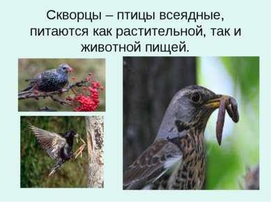 Скворцы – птицы всеядные, питаются как растительной, так и животной пищей.