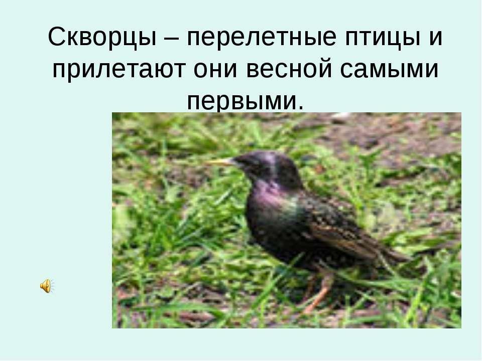 Скворцы – перелетные птицы и прилетают они весной самыми первыми.