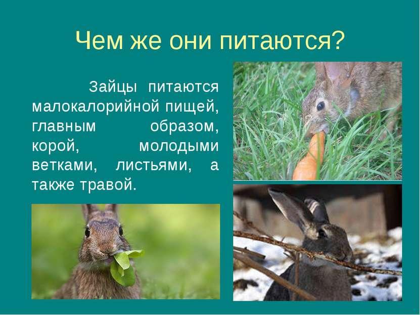 Чем же они питаются? Зайцы питаются малокалорийной пищей, главным образом, ко...