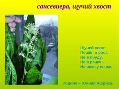 Щучий хвост Пошёл в рост: Не в пруду, Не в речке – На окне у печки. Родина – ...