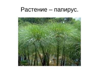 Растение – папирус.
