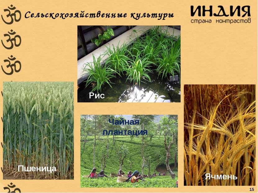 Сельскохозяйственные культуры Пшеница Ячмень Рис Чайная плантация 15