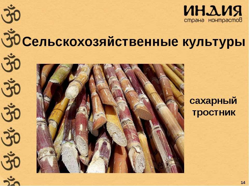 Сельскохозяйственные культуры сахарный тростник 14