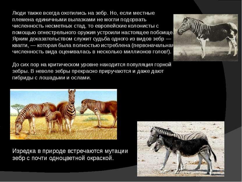 Люди также всегда охотились на зебр. Но, если местные племена единичными выла...