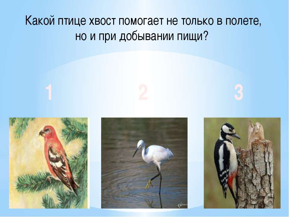 Какой птице хвост помогает не только в полете, но и при добывании пищи? 1 2 3