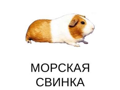 МОРСКАЯ СВИНКА