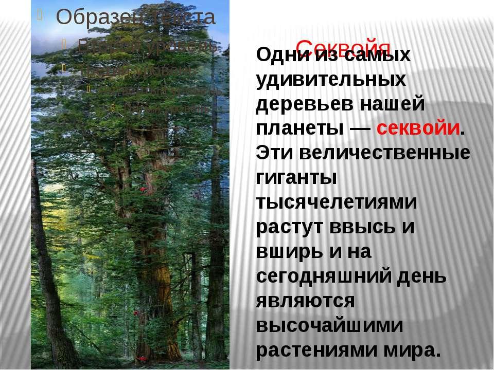 Секвойя Одни из самых удивительных деревьев нашей планеты — секвойи. Эти вели...