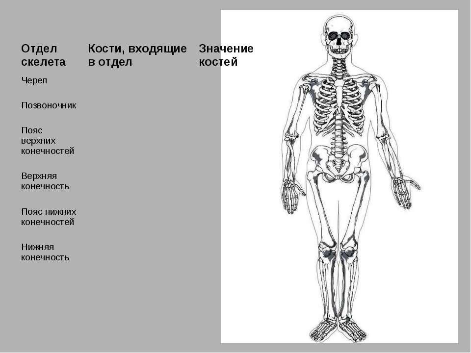 Отдел скелета Кости, входящие в отдел Значение костей Череп Позвоночник Пояс ...