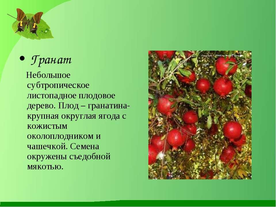 Гранат Небольшое субтропическое листопадное плодовое дерево. Плод – гранатина...