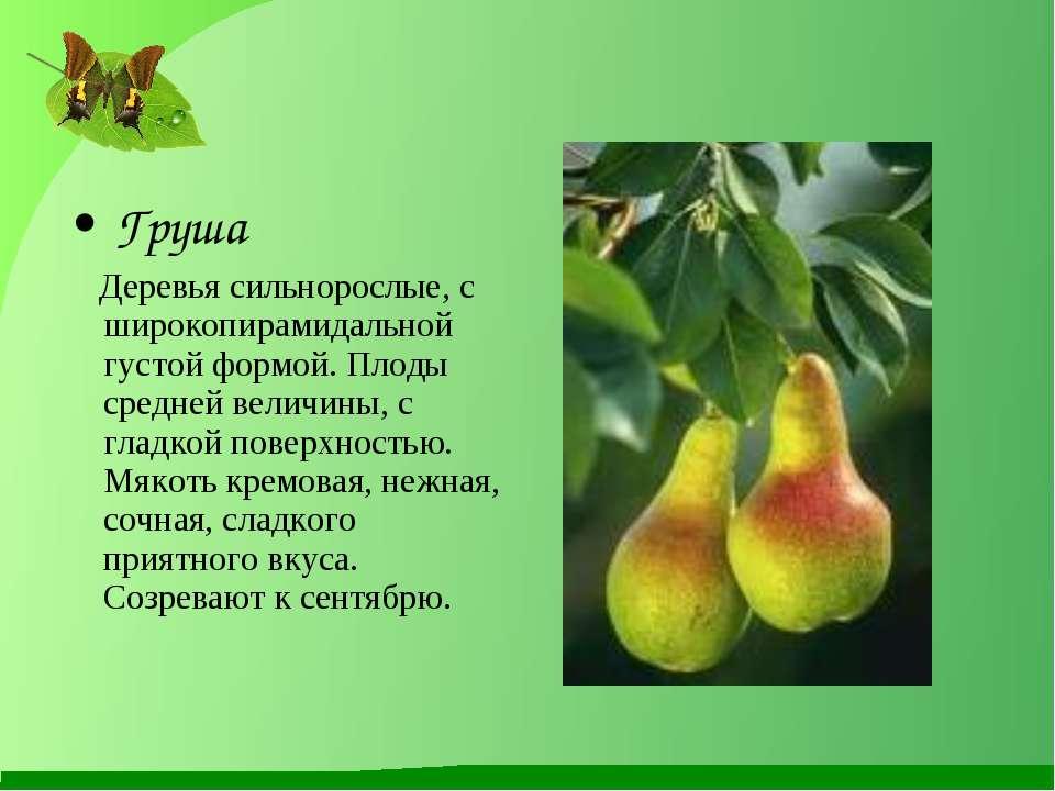 Груша Деревья сильнорослые, с широкопирамидальной густой формой. Плоды средне...