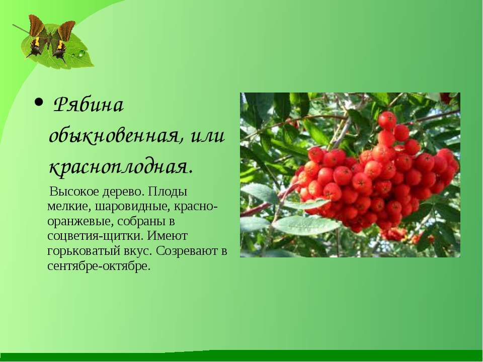 Рябина обыкновенная, или красноплодная. Высокое дерево. Плоды мелкие, шаровид...