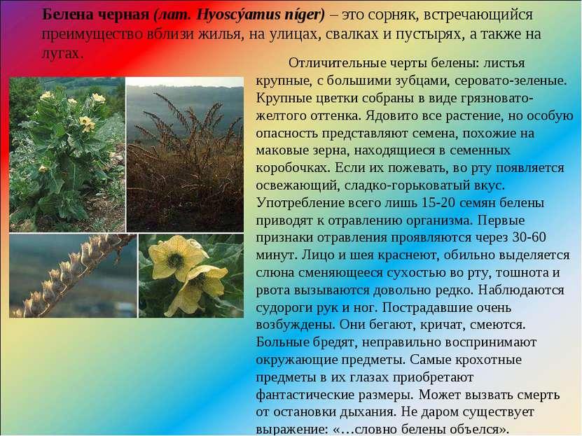 Белена черная(лат. Hyoscýamus níger)– это сорняк, встречающийся преимуществ...
