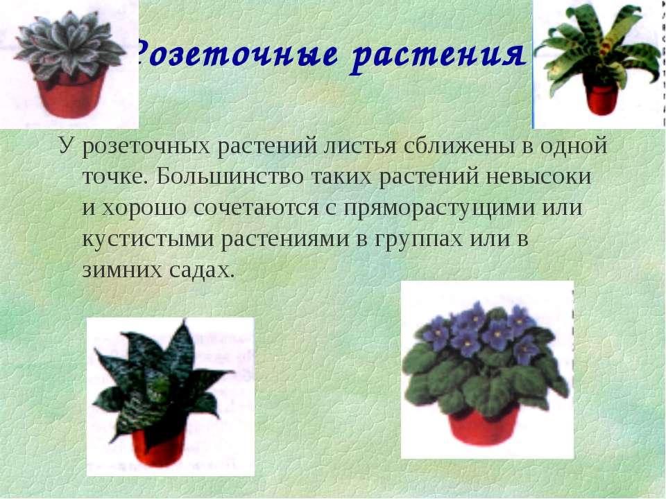 Розеточные растения У розеточных растений листья сближены в одной точке. Боль...
