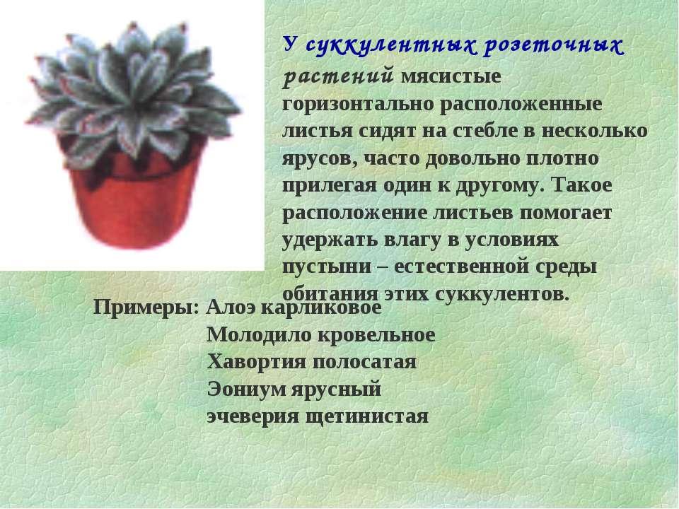 У суккулентных розеточных растений мясистые горизонтально расположенные листь...
