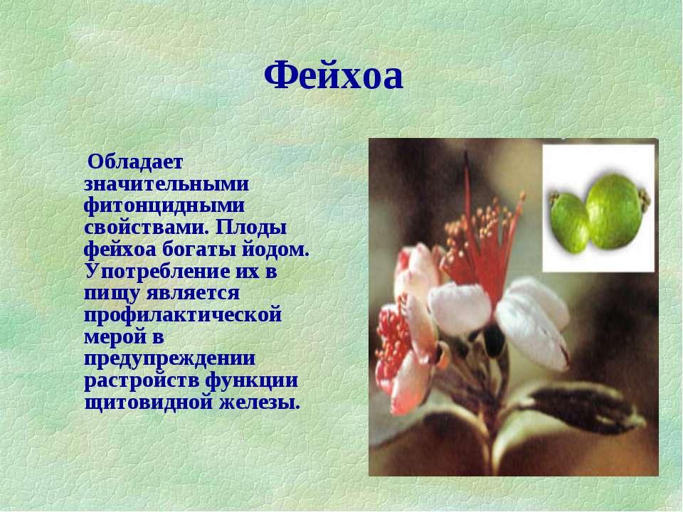 Фейхоа Обладает значительными фитонцидными свойствами. Плоды фейхоа богаты йо...