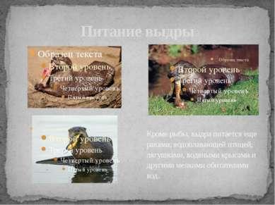 Питание выдры Кроме рыбы, выдра питается еще раками, водоплавающей птицей, ля...
