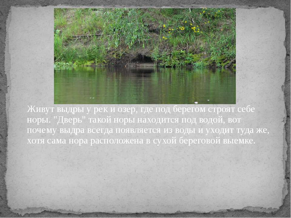 """Живут выдры у рек и озер, где под берегом строят себе норы. """"Дверь"""" такой нор..."""