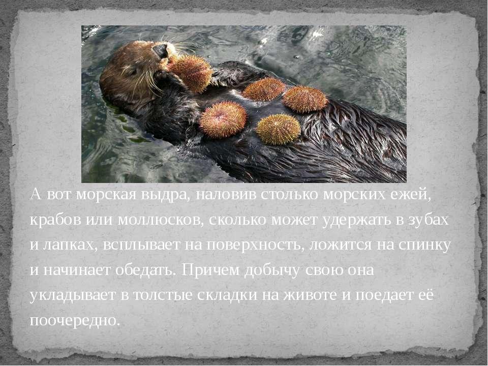 А вот морская выдра, наловив столько морских ежей, крабов или моллюсков, скол...
