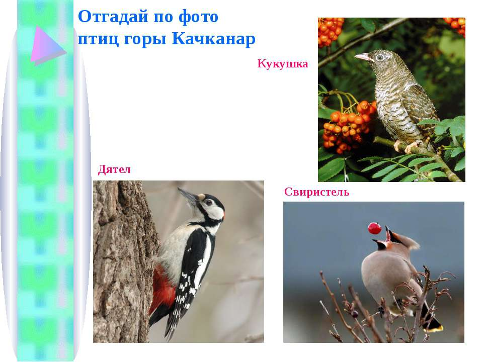 Отгадай по фото птиц горы Качканар Кукушка Свиристель Дятел