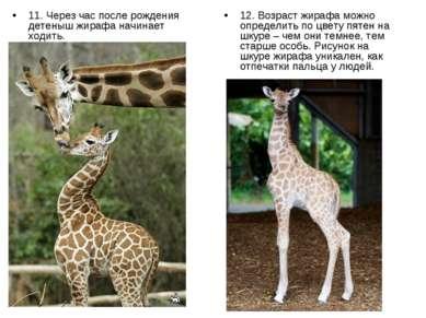 11. Через час после рождения детеныш жирафа начинает ходить. 12. Возраст жира...