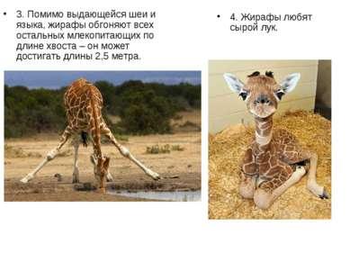 3. Помимо выдающейся шеи и языка, жирафы обгоняют всех остальных млекопитающи...
