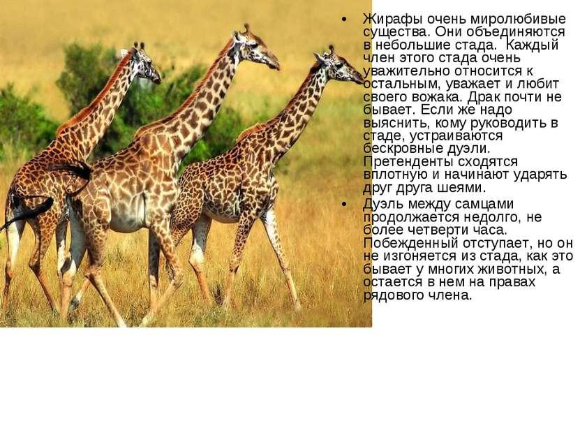 Жирафы очень миролюбивые существа. Они объединяются в небольшие стада. Кажды...