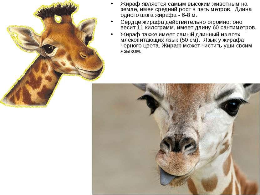 Жираф является самым высоким животным на земле, имея средний рост в пять метр...