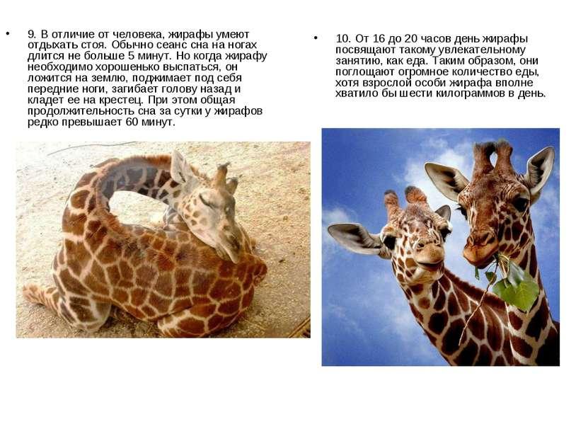 9. В отличие от человека, жирафы умеют отдыхать стоя. Обычно сеанс сна на ног...