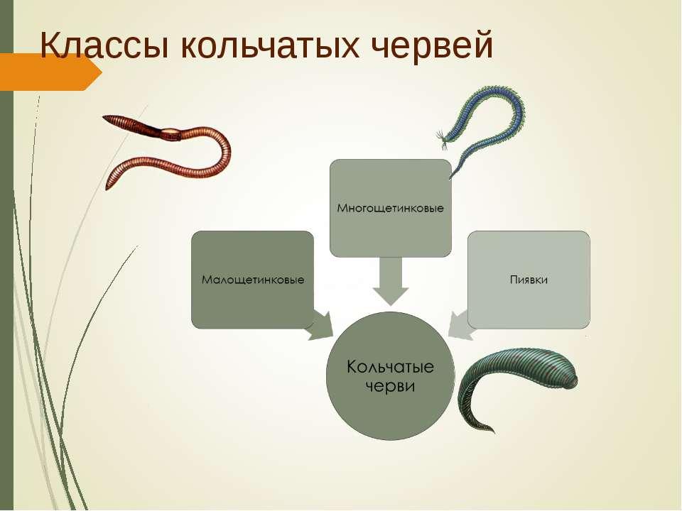 Классы кольчатых червей