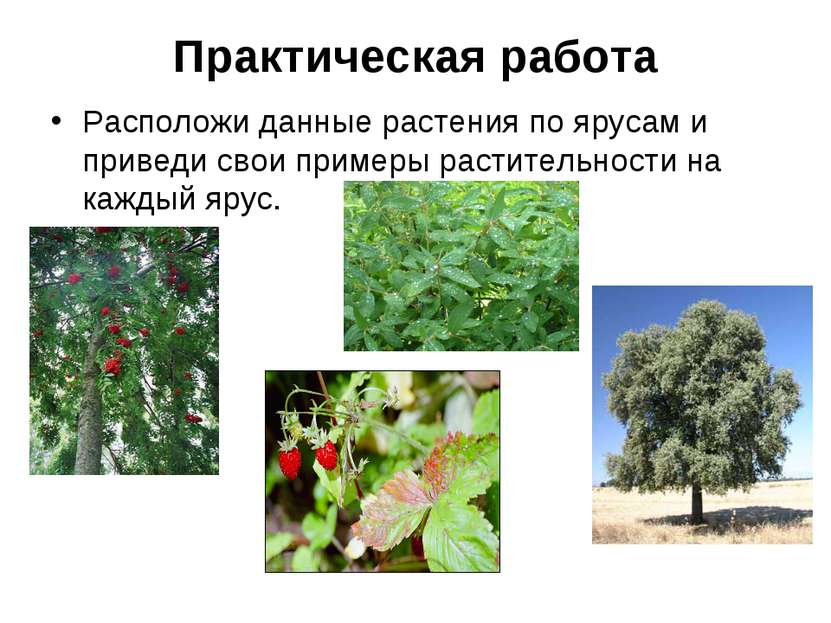 Практическая работа Расположи данные растения по ярусам и приведи свои пример...