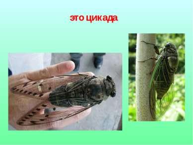это цикада