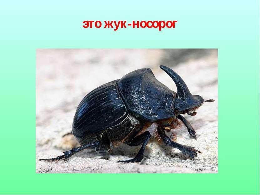 это жук-носорог