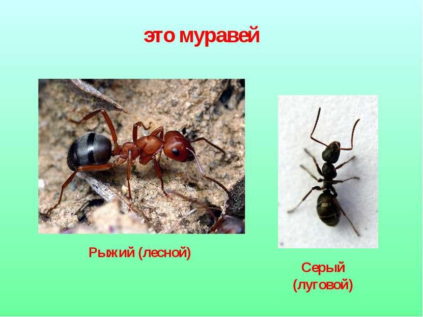 это муравей Рыжий (лесной) Серый (луговой)