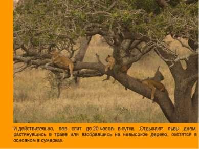 Идействительно, лев спит до20часов всутки. Отдыхают львы днем, растянувши...
