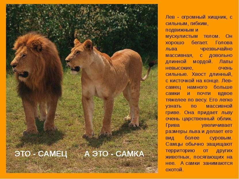 А ЭТО - САМКА Лев - огромный хищник, с сильным, гибким, подвижным и мускулист...